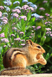 Chipmunk in Flower Garden Royalty Free Stock Photos