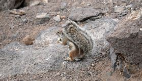 Chipmunk with a fluffy tail. Varied fur of a small animal. Rocky slope of a mountain stream paws royalty free stock image