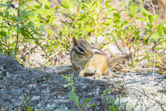 Chipmunk Foraging Obrazy Royalty Free