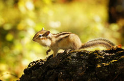Chipmunk in a forest Royalty Free Stock Photo