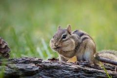 Chipmunk with fully stuffed cheeks in a woodland Fall seasonal scene. Cute Eastern Chipmunk (Tamias striatus) with fully stuffed cheeks in a woodland autumn Stock Images