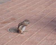 Chipmunk funny animal Royalty Free Stock Photography