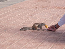 Chipmunk funny animal with Woman Royalty Free Stock Photo