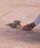 Chipmunk funny animal with Woman Royalty Free Stock Photography