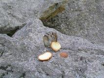 Chipmunk głodny Zdjęcia Royalty Free