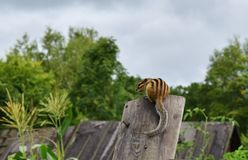 Chipmunk in the garden stock images