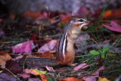 Chipmunk. Gathering acorns for the coming winter Stock Photo