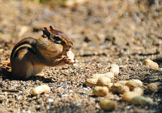 Chipmunk Gathering Peanuts Royalty Free Stock Photos