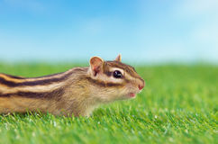Chipmunk on a grass field Royalty Free Stock Images