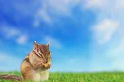 Chipmunk on a grass field Royalty Free Stock Image
