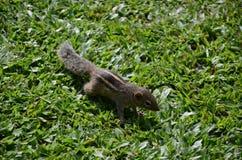 Chipmunk in the grass. In Sri Lanka Royalty Free Stock Image