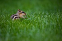 Chipmunk in Green Grass. Small brown striped north American chipmunk sitting in the green grass Royalty Free Stock Photography