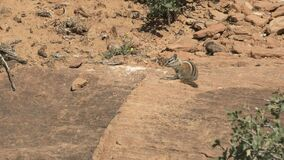 A chipmunk grooming on a rock shelf at zion national park in utah