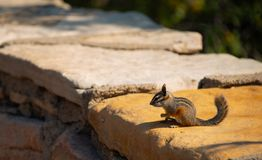 chipmunk Groot Canion Nationaal Park stock fotografie