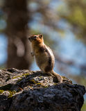 Chipmunk / ground squirrel Stock Photos