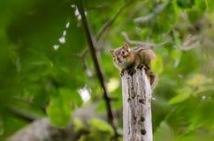 Chipmunk Ground Squirrel on post royalty free stock photo