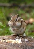 Chipmunk hambriento Imagenes de archivo