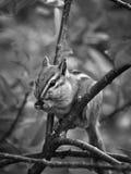 Chipmunk hambriento Fotos de archivo libres de regalías