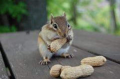 Chipmunk hambriento Fotografía de archivo libre de regalías