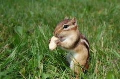 Chipmunk hambriento Fotos de archivo