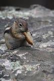 Chipmunk hambriento Imagen de archivo libre de regalías