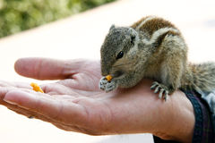 Chipmunk on hand Royalty Free Stock Image