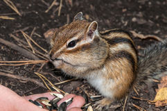Chipmunk hand seeds feeding Royalty Free Stock Image