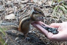 Chipmunk hand seeds feeding Stock Photography