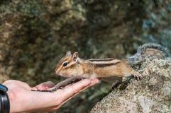 Chipmunk hand seeds feeding Stock Photos