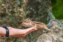 Chipmunk hand seeds feeding Royalty Free Stock Photo