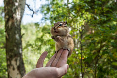 Chipmunk hand seeds feeding Stock Photo