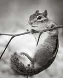 Chipmunk. Hanging On to a Branch Royalty Free Stock Image