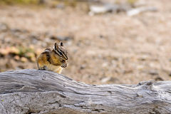 Chipmunk have a Lunch Stock Photo