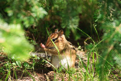 Chipmunk Hides in Undergrowth Stock Photo