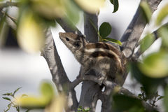 Chipmunk hiding in the foliage stock photo