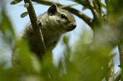Chipmunk hiding on tree! Stock Photography