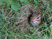 Chipmunk Hole Stock Photo