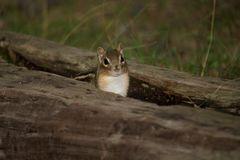 Chipmunk in hollow log Royalty Free Stock Image