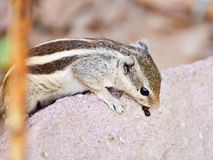 Chipmunk Indian Squirrel Royalty Free Stock Images