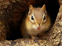 Chipmunk in a Knothole Stock Images