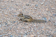 Chipmunk in landscape park Stolby, near Krasnoyarsk Royalty Free Stock Photo