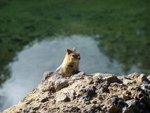 Chipmunk on Lava Rock Royalty Free Stock Image