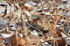 Chipmunk  among the leaves Stock Image