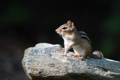 Chipmunk. Lifting its front let on a rock Stock Photography