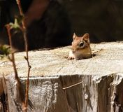Chipmunk lindo en su hogar Fotos de archivo