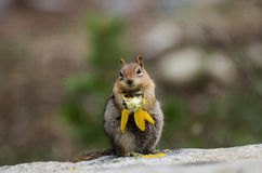 Chipmunk. Is a little animal we can saw them everywhere on the trees stock photos