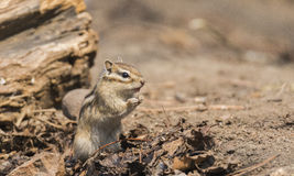 Chipmunk Royalty Free Stock Photos