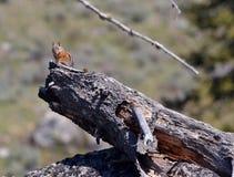 Chipmunk on a log Stock Images