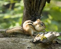 Chipmunk On A Log Stock Photo