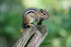 Chipmunk on Log. Stock Photography